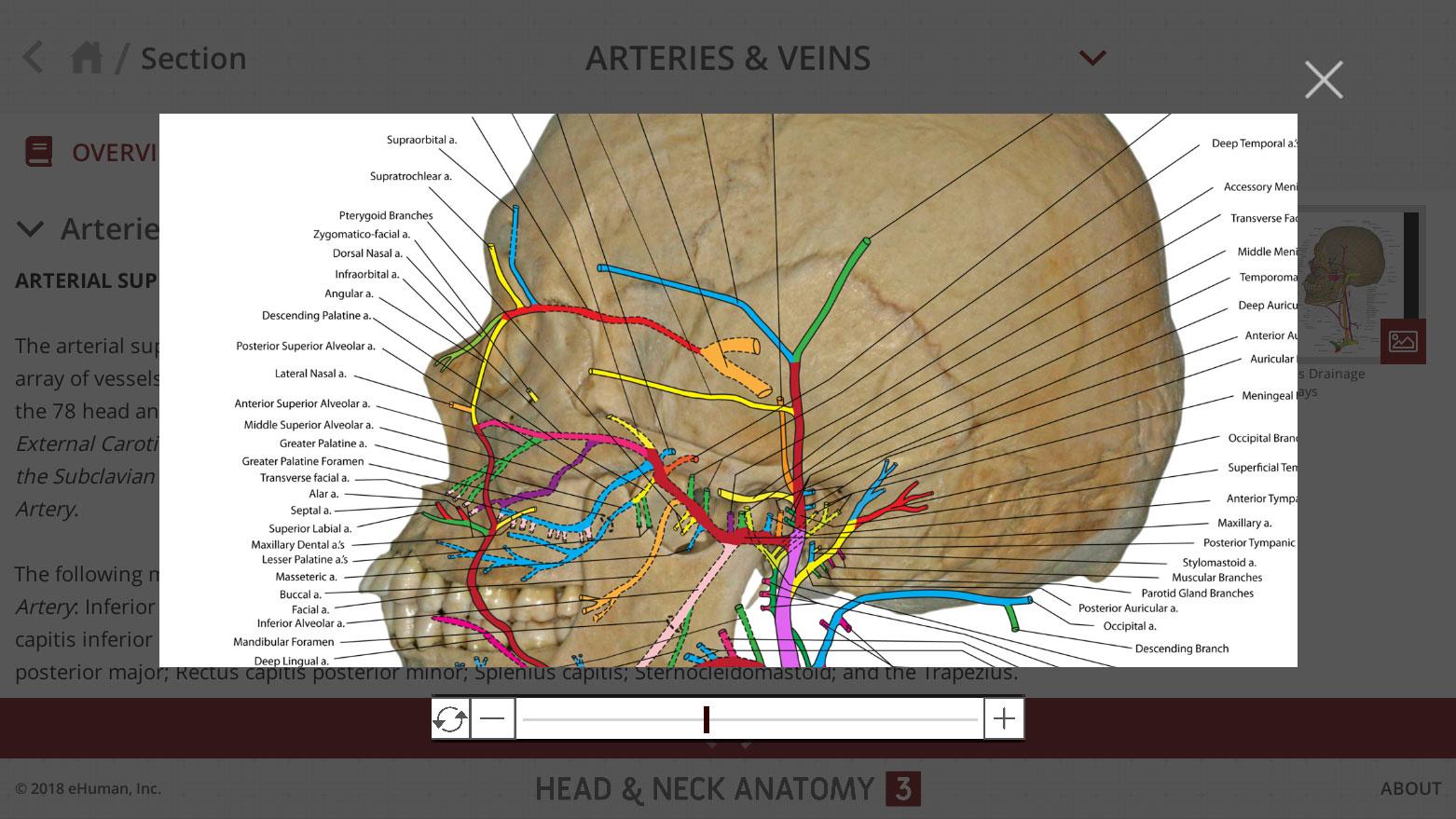 Head And Neck Anatomy 3 Ehuman